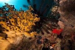Estrella y pescados serrados de pluma   Imagen de archivo libre de regalías