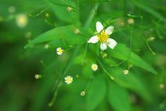 Estrellas de la planta Fotos de archivo libres de regalías