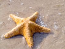 Estrellas de mar Fotografía de archivo