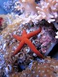 Estrellas de mar Imagenes de archivo