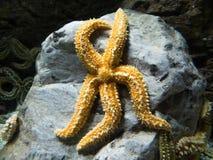 Estrellas de mar amarillas en roca en agua imagen de archivo libre de regalías