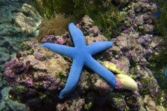 Estrellas de mar azules Linkia levigado Fotos de archivo libres de regalías