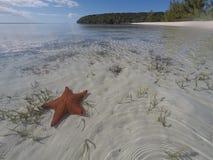 Estrellas de mar de Bahamas en planos de la arena a través del agua clara Foto de archivo