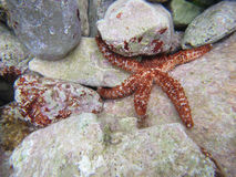 Estrellas de mar bajo la superficie del mar Fotografía de archivo