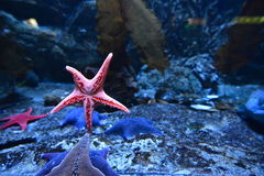 estrellas de mar Cinco-acentuadas en un acuario Gdynia, Polonia fotos de archivo libres de regalías