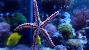 Estrellas de mar de la elegancia de Fromia Imágenes de archivo libres de regalías