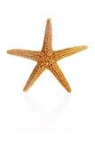 Estrellas de mar de la Florida Brown fotografía de archivo