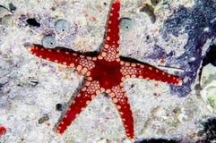 Estrellas de mar de la hierbabuena Imagen de archivo