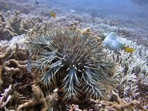 Estrellas de mar de las Corona-de-Espinas Imágenes de archivo libres de regalías
