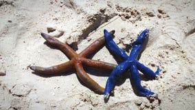 Estrellas de mar del laevigata de Linckia Fotos de archivo libres de regalías