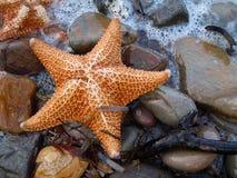 Estrellas de mar eliminadas en los guijarros de la playa Imagen de archivo libre de regalías