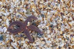 Estrellas de mar en cáscaras machacadas Foto de archivo libre de regalías