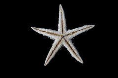 Estrellas de mar en fondo negro Imagen de archivo libre de regalías