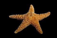 Estrellas de mar en negro foto de archivo libre de regalías