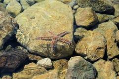 Estrellas de mar en rocas en agua de mar Imágenes de archivo libres de regalías