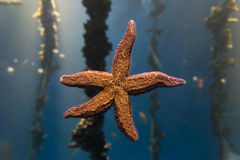 Estrellas de mar en un acuario Foto de archivo