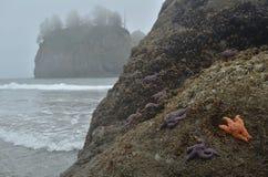Estrellas de mar en una roca en el parque nacional olímpico Imágenes de archivo libres de regalías