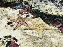 Estrellas de mar o estrellas de mar Fotografía de archivo libre de regalías