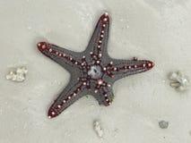Estrellas de mar o una estrella de mar en la arena fotos de archivo libres de regalías