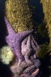 Estrellas de mar ocres fotografía de archivo libre de regalías