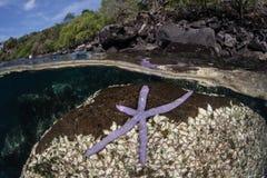 Estrellas de mar púrpuras en roca volcánica imagen de archivo libre de regalías