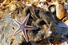 Estrellas de mar púrpuras en una roca Imágenes de archivo libres de regalías