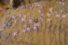 Estrellas de mar puestas en la playa Imagen de archivo libre de regalías