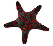 Estrellas de mar rojas Foto de archivo