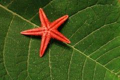 Estrellas de mar rojas fotos de archivo libres de regalías