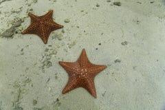 2 estrellas de mar rojas brillantes en aguas tropicales bajas Imagen de archivo