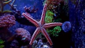 Estrellas de mar rojas de la elegancia de Fromia Imágenes de archivo libres de regalías
