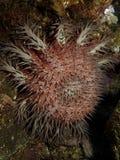 Estrellas de mar rojas de las corona-de-espinas Imagen de archivo