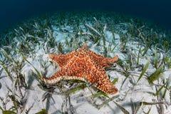 Estrellas de mar rojas del amortiguador fotografía de archivo