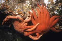 Estrellas de mar rojas gigantes de la estera Foto de archivo libre de regalías