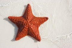 Estrellas de mar rojas grandes Imagenes de archivo