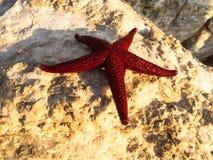 estrellas de mar Rojo-anaranjadas que mienten en las rocas en el borde Foto de archivo libre de regalías