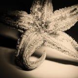Estrellas de mar secadas Imagenes de archivo