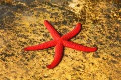 Estrellas de mar solas Foto de archivo libre de regalías