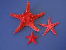Estrellas rojas de los pescados Fotos de archivo libres de regalías