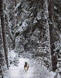 Estrellazo a través de la nieve fotografía de archivo