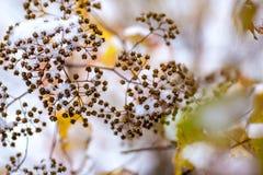 Estremità dell'autunno, dei cespugli e delle foglie di giallo coperte di neve bianca Fotografia Stock