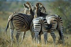 Estremità della zebra Fotografie Stock Libere da Diritti