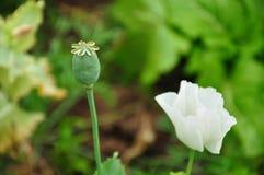 Estremità e fiore di oppio fotografia stock libera da diritti