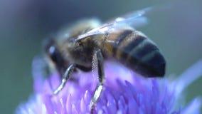Estremo vicino su da un'ape che vola via al rallentatore stock footage