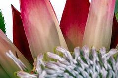 Estremo vicino su dei modelli e delle strutture di fiore del Protea Fotografie Stock