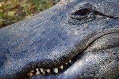 Estremo vicino su di un alligatore e del suo sorriso a trentadue denti Fotografie Stock Libere da Diritti
