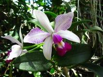Estriata violacea Cattleya semi alba стоковое изображение rf