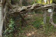 Estructura única de la raíz del árbol cerca del asiático Forest Temple Foto de archivo libre de regalías