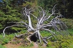 Estructura caida de la raíz del árbol Foto de archivo