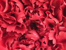 Estructura de la flor del clavel Imágenes de archivo libres de regalías